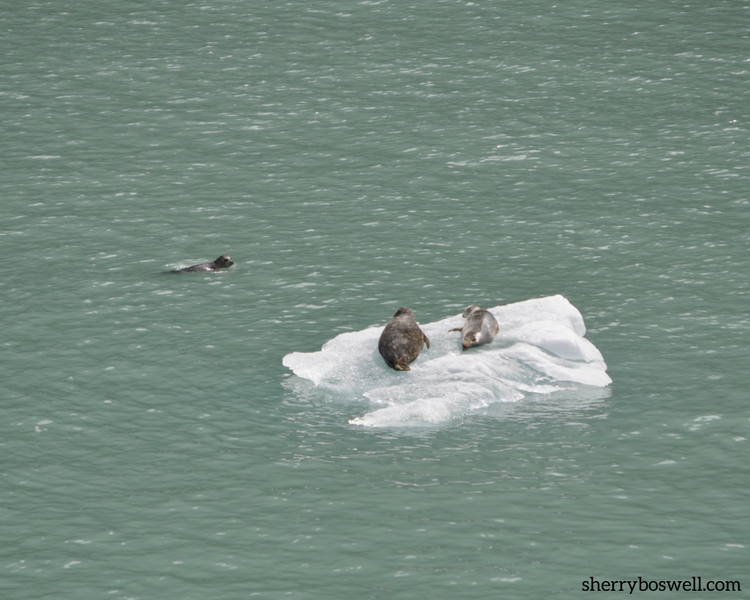 alaska cruise 7 essential tips pin Seals on ice